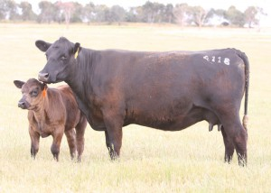 BARWIDGEE 04118 (APR) (AI) Dam of 07392